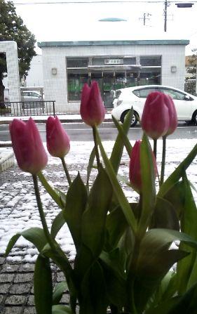 チューリップと雪