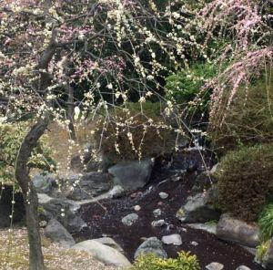 疎水と枝垂れ梅