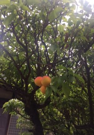 色づきが綺麗な梅