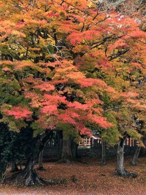 アラカシの紅葉