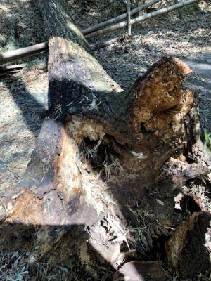 倒れたままの木