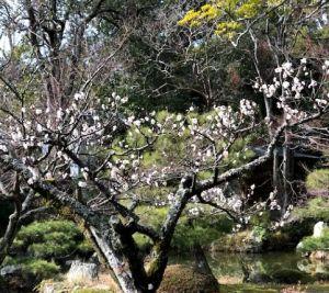 大覚寺中庭の梅
