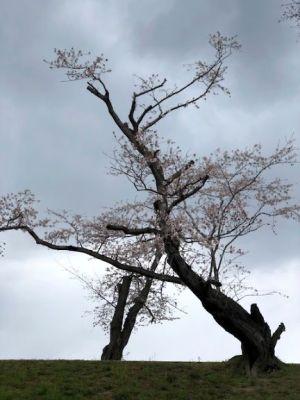 台風影響感じる桜の木