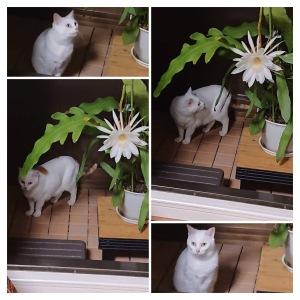 月下美人と猫