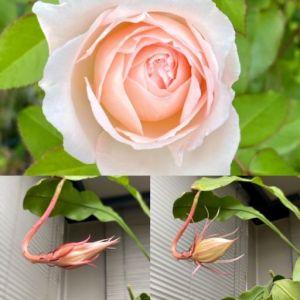 薔薇と月下美人の蕾